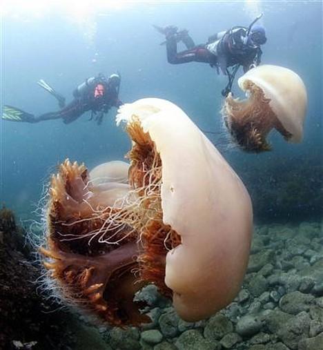 Огромная медуза (6 фото)